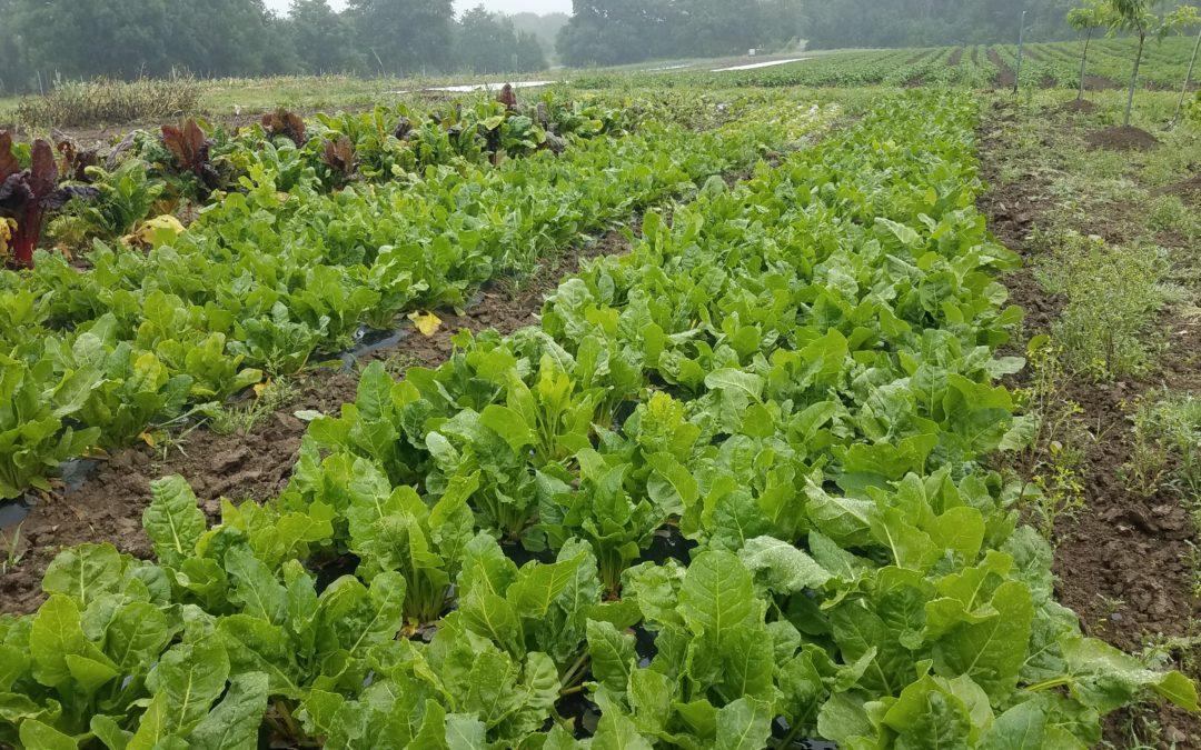 La Blette-épinard, un légume oublié